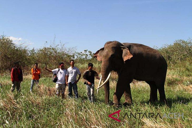 BKSDA Aceh lepas gajah liar ke hutan lindung