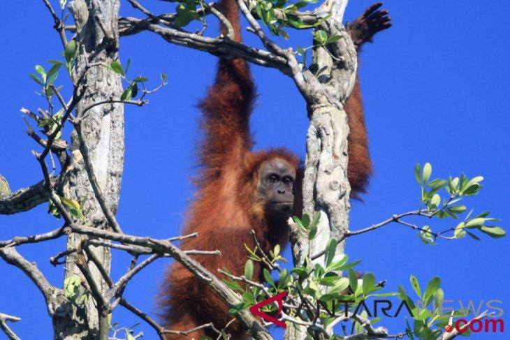 Walhi minta pemerintah selamatkan orangutan Tapanuli