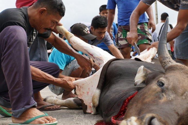 Lantamal Ambon bagikan 21 ekor hewan kurban