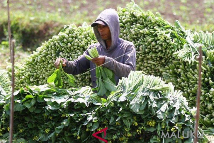 Harga sayuran lokal di Ambon bertahan