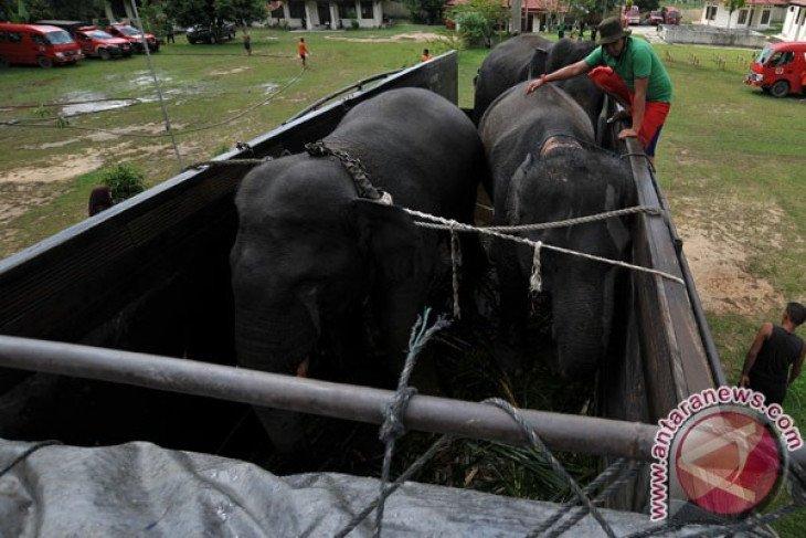 BKSDA Jambi memulai operasi relokasi Gajah Sumatera