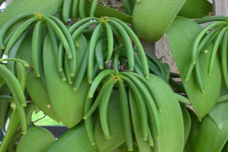 Di Manado, harga vanili bertahan Rp2,5 juta kilogram