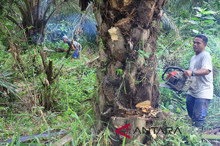 Akibat banjir, 30 hektare kebun sawit di Singkil rusak
