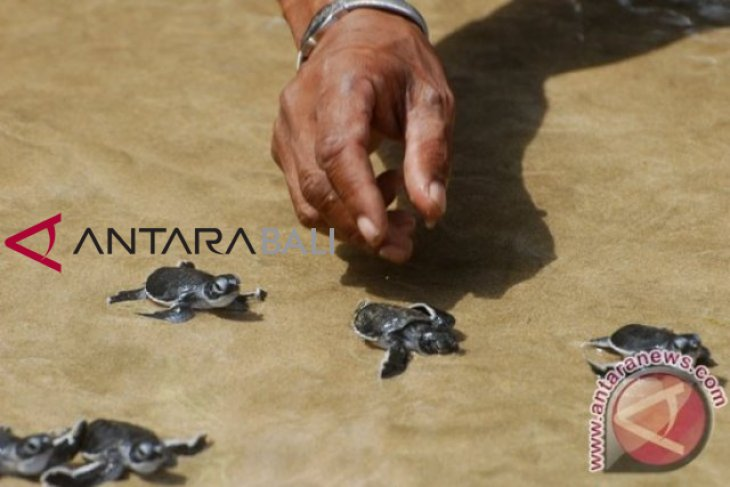 2.327 tukik dilepas di Pantai Saba, Bali