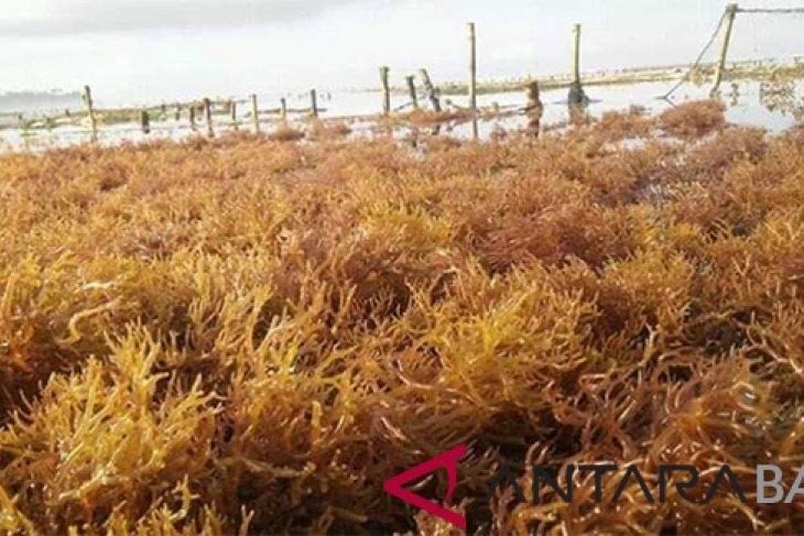Menurun, produksi rumput laut di Nusa Penida