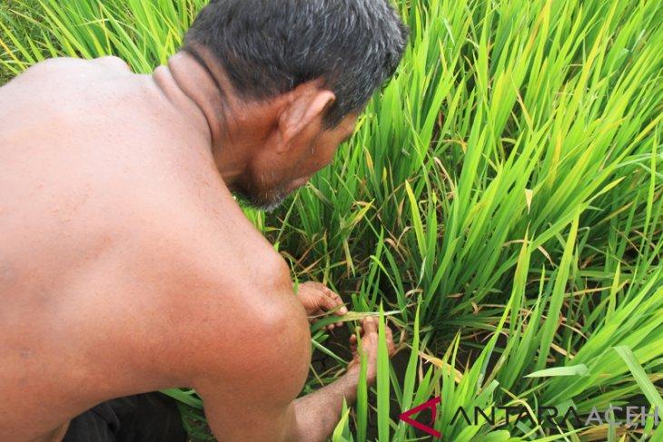 Puluhan hektare tanaman padi di Aceh Barat diserang hama ulat