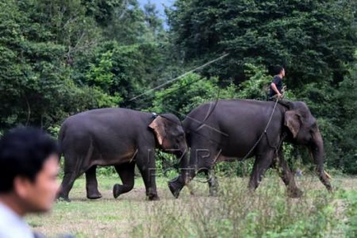 PLG Sare Amankan Gajah Liar