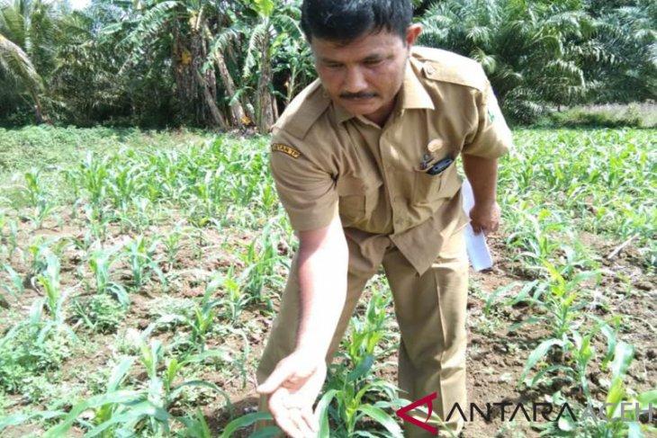 Masyarakat Aceh Jaya resah, tanaman jagung diserang ulat