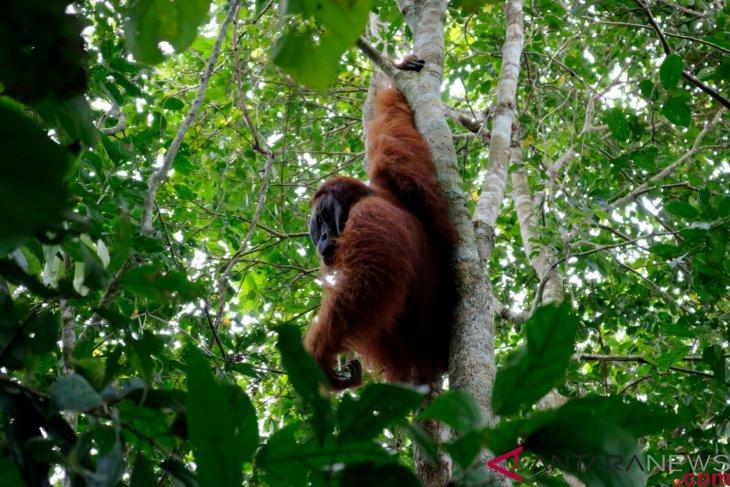 90 percent of orangutans live outside preserved forests: BKSDA