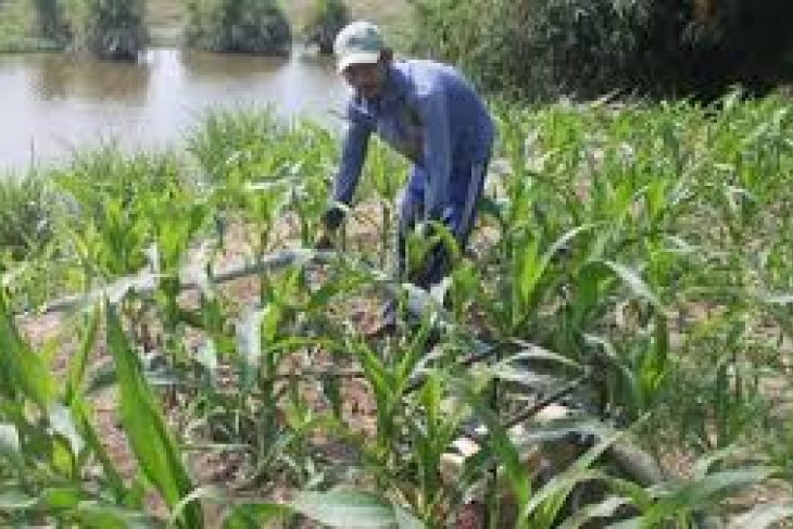 Petani Lebak Sumbangkan Produksi Jagung Nasional 24.368 Ton