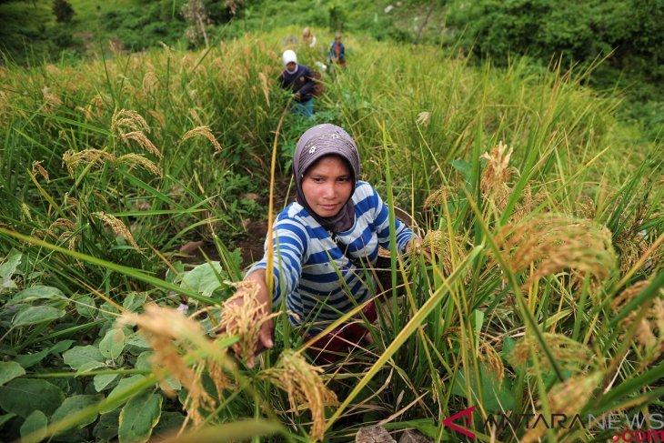 Panen padi di perbukitan Sarolangun
