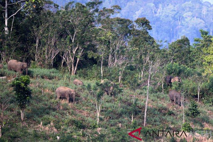 Kawanan gajah liar serang gajah jinak di Bener Meriah