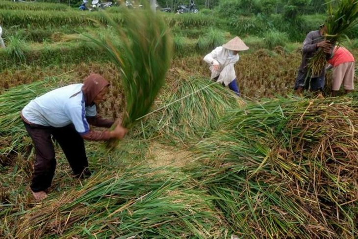 Panen padi