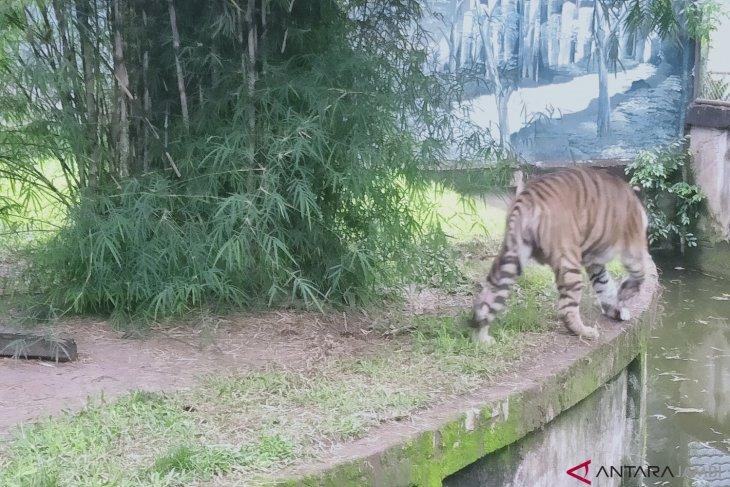 Harimau Sumatera di Taman Rimba Jambi menderita radang persendian (video)