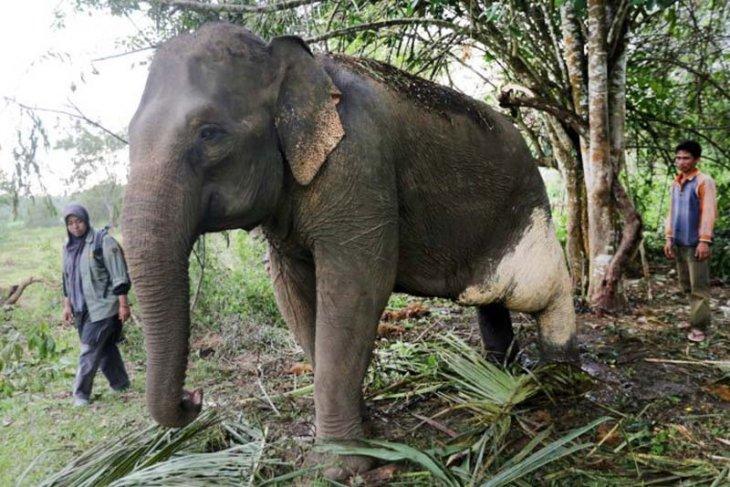 Petugas Pusat Latihan Gajah (PLG) Saree mengawasi gajah jinak yang telah diolesi obat tradisional di Aceh Besar, Aceh, Kamis (14/2/2019). BKSDA Aceh berupaya mengobati gajah jinak betina bernama Ida yang cidera pada kaki kiri belakang akibat diserang gajah liar saat penggiringan di Kabupaten Bener Meriah. (ANTARA FOTO/Irwansyah Putra)