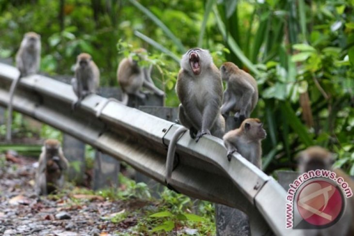 Petani Sipirok merugi akibat hama monyet