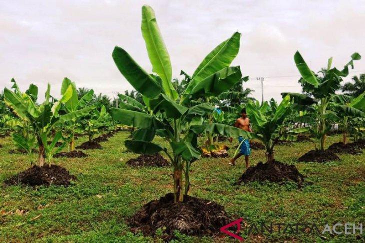 Nagan Raya kembangkan budidaya pisang pengganti tanaman kelapa sawit