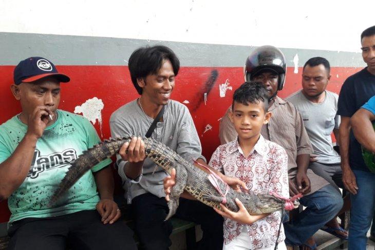 BKSDA Maluku amankan buaya muara di kandang transit