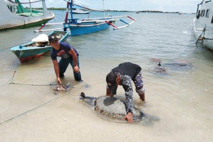 Lanal Denpasar gagalkan penyelundupan penyu hijau di Buleleng