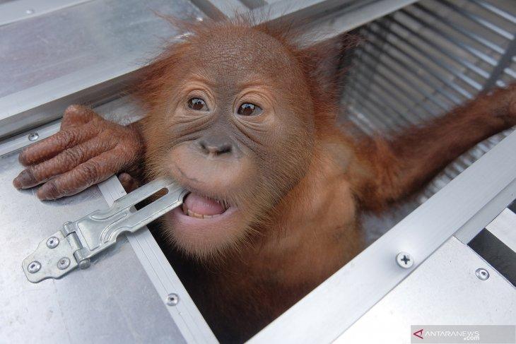 Protecting Orangutans in natural habitat deemed crucial