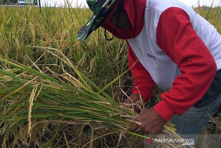 Petani Aceh Jaya resah harga gabah semakin turun