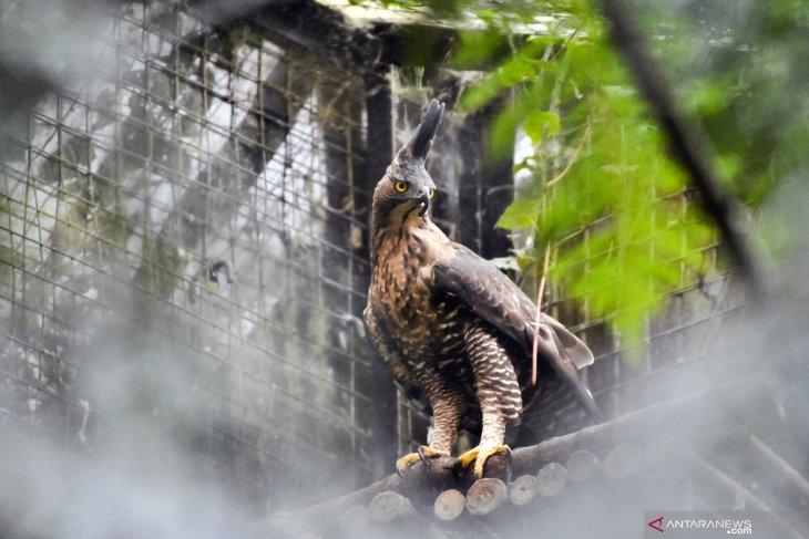 Ikhtiar menyelamatkan satwa endemik Elang   Jawa