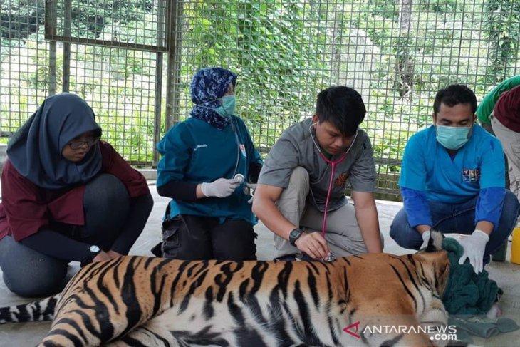Harimau Sumatera yang terluka parah akibat jeratan mulai pulih
