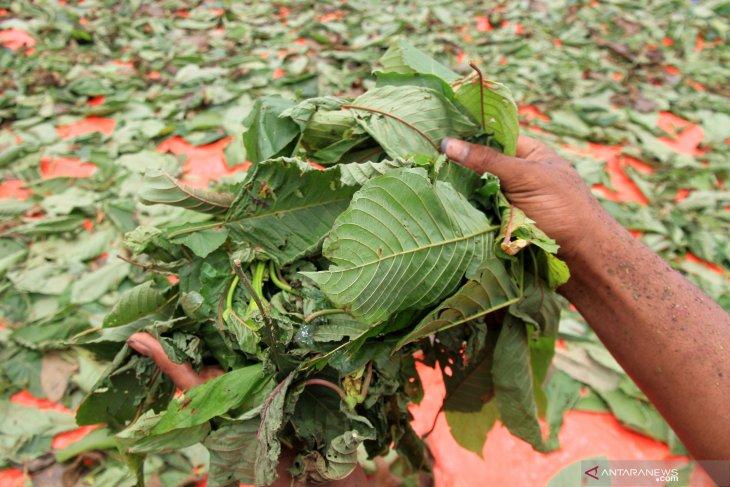 Apdesi Kapuas Hulu minta presiden Jokowi atasi soal tumbuhan kratom