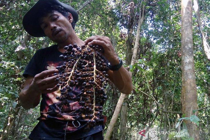 Tanam jernang, harga jual tinggi dari sawit sekaligus menjaga hutan