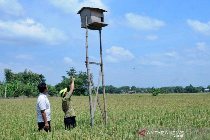 Petani Boyolali kembangkan burung hantu dan rubuha kendalikan hama tikus