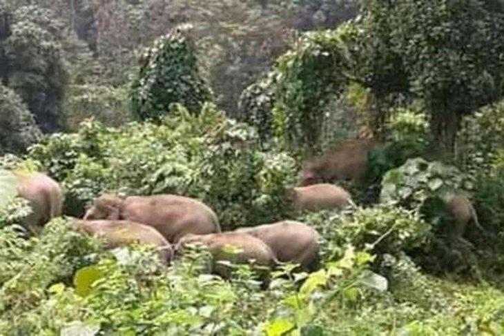 Tidak sembarangan, ini beberapa panggilan unik untuk menggiring kawanan gajah ke hutan