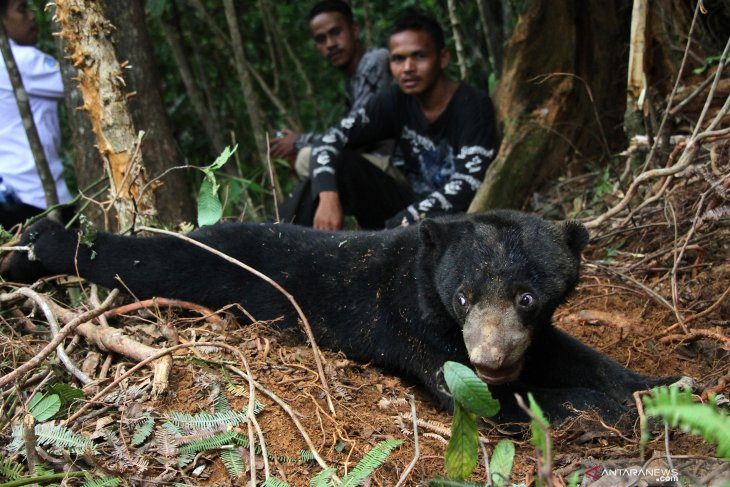 Dua ekor beruang madu terjerat perangkap babi