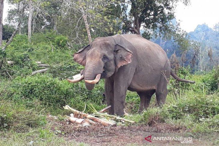 Rahman dan Indro  gajah jinak  penghalau gajah liar