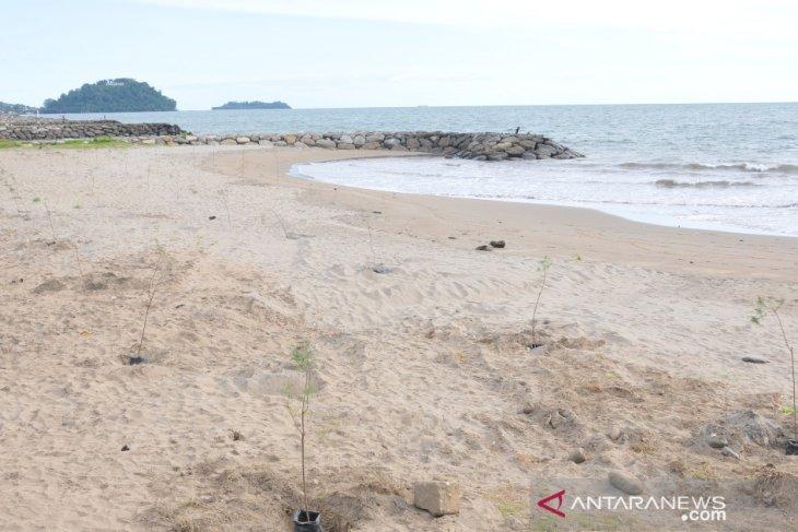 Ribuan cemara penahan tsunami di Padang mati meranggas