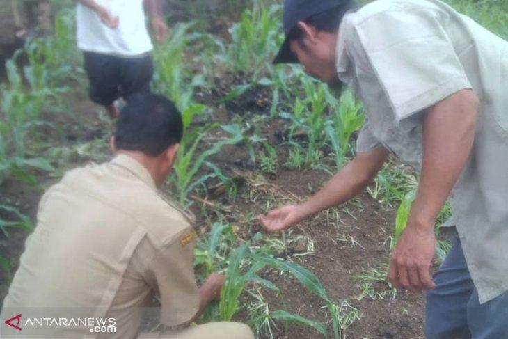 Petani Mukomuko terima bantuan racun basmi ulat perusak jagung