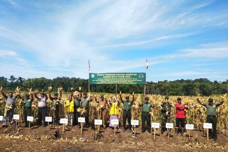 Jagung demplot Kodim Aceh Jaya mulai panen