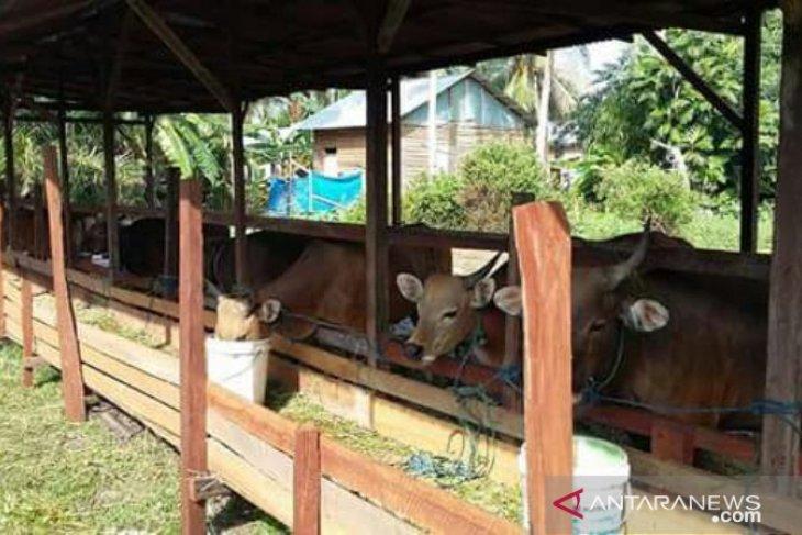 Populasi sapi Penajam bertambah 1.000 ekor