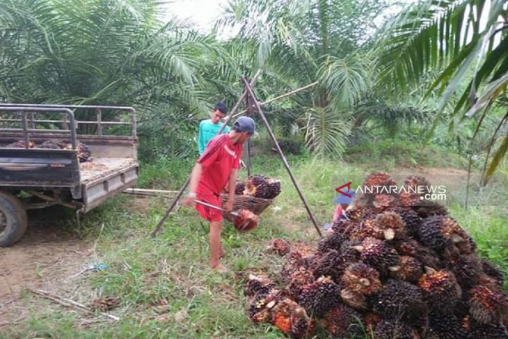 Harga sawit petani Mukomuko naik Rp50/kilogram