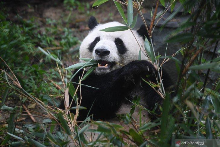 Pusat Penelitian dan Pengembangbiakan Panda Raksasa