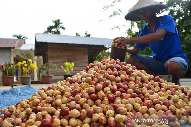 Pemprov Papua Barat segera tindak lanjuti rencana investasi perkebunan pala