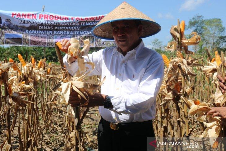 Pemerintah Kabupaten Bangka Tengah dorong petani kembangkan jagung pipil