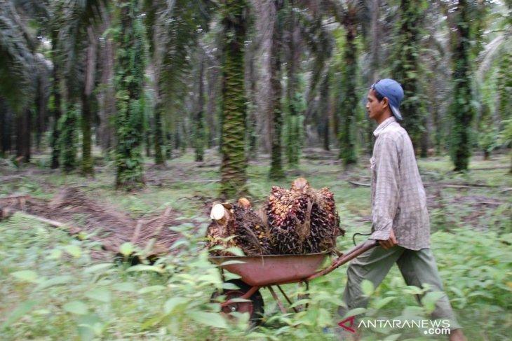 Dinas Pertanian Aceh Jaya kembali usul 1.286 hektare lahan untuk replanting