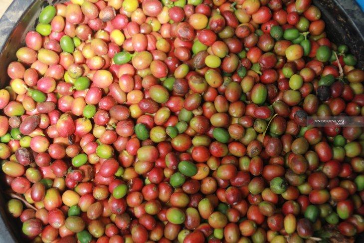 Desa Pagur hasilkan 10 ton kopi Mandailing setiap bulannya