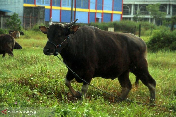 DP3 Balikpapan akan periksa ulang kesehatan hewan kurban