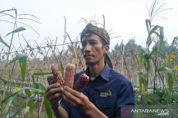 Kebun jagung warna-warni
