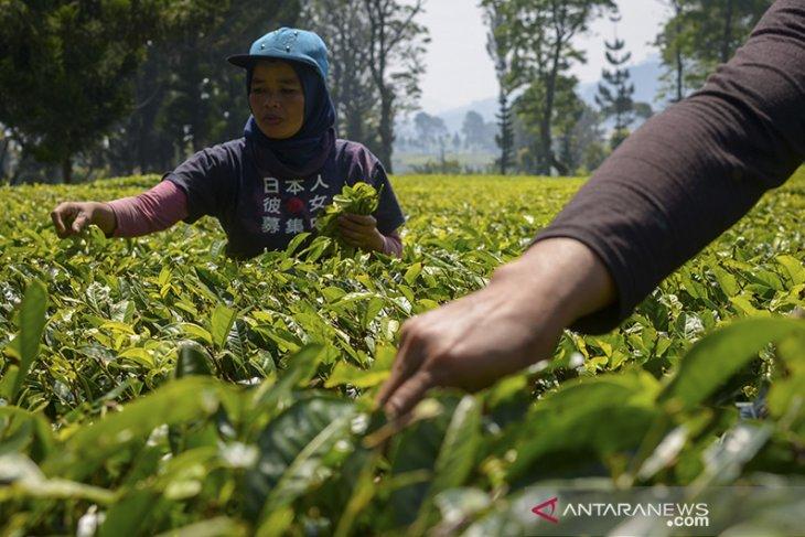 Target produksi teh