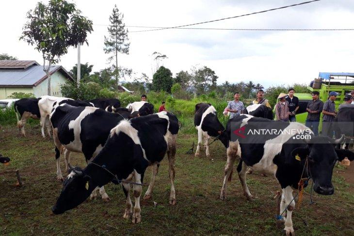 Produksi susu sapi di Rejang Lebong turun drastis
