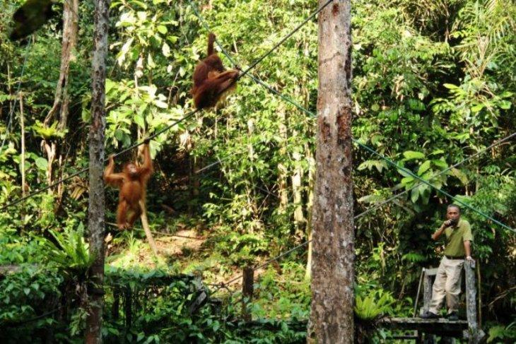 Orangutan di Semenggoh Wildlife Centre