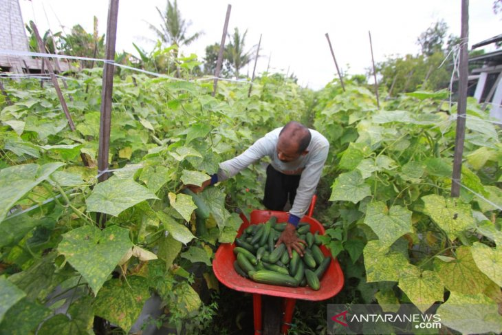Kemarau, produksi timun petani Kalsel turun drastis