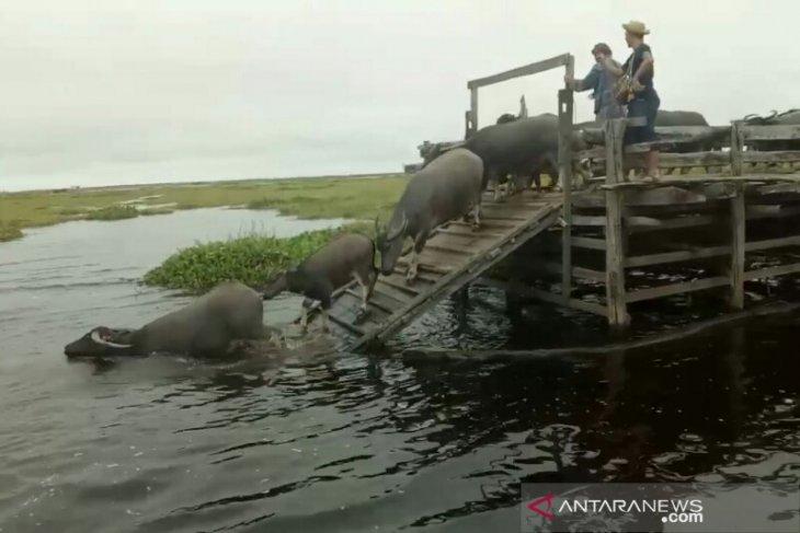 Peternak menunggu destinasi wisata susur rawa
